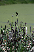 A orange headed Blackbird profiled against a pond covered in shade of green algae