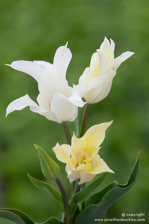 Tulipa 'Ice Wing'