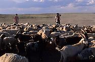 Mongolia. cattle breeder killing a sheep  in ,  Gobi desert       / troupeaux et éleveurs  Gobi desert  Mongolie    88    L1352  /  P0003964