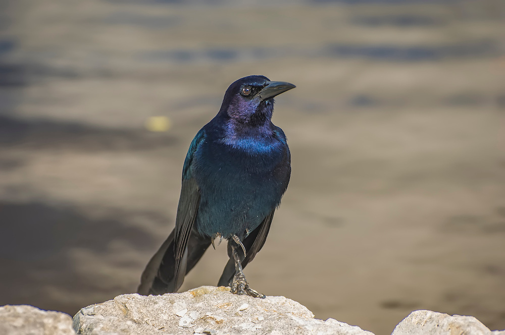 A gorgeous male boat-tailed grackle shows off his metallic blue/purple sheen on his black feathers at the edge of a pond in Naples, Florida.