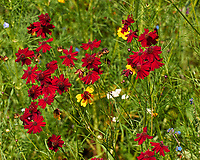 Red Coreopsis Flowers. Image taken with a Leica CL camera and 55-135 mm lens