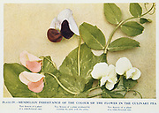 Mendelian inheritance of colour of flower in the culinary pea  Pink-flowered race (left), White-flowered race (right), Cross between the two, (centre). From 'Breeding and Mendelian Discovery', AD Darbishire, (London, 1912). Austrian monk Gregor Mendel (1822-1884) read his paper on 'Plant Hybridisation' in 1865, but it went unnoticed for 34 years. Mendel's Laws of Inheritance or Mendelism formed the basis of later studies in genetics.