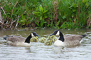Breeding pair of Canada Geese, Branta canadensis, with young goslings, on River Windrush at Swinbrook, the Cotswolds, UK