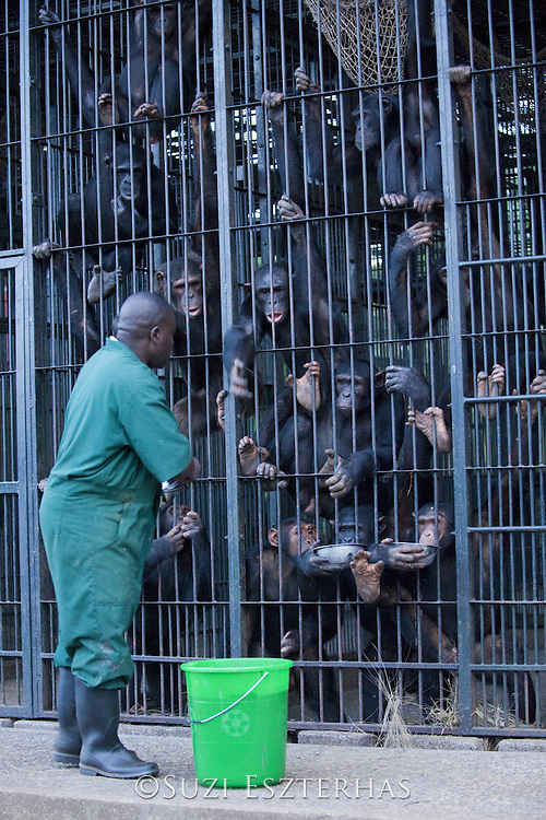 Chimpanzee<br /> Pan troglodytes<br /> Stany Nyomolwi (Caretaker) feeding rehabilitated chimps<br /> Ngamba Island Chimpanzee, Sanctuary <br /> *Model release available - Release #MR_010<br /> *Captive