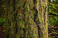 A closeup view of a moss covered tree trunk in Tiger Mountain, Washington