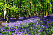 Filtered sunlight illuminates drifts of native English bluebells (Hyacinthoides non-scripta) under young beech trees in West Woods, near Lockeridge, Wiltshire.<br />