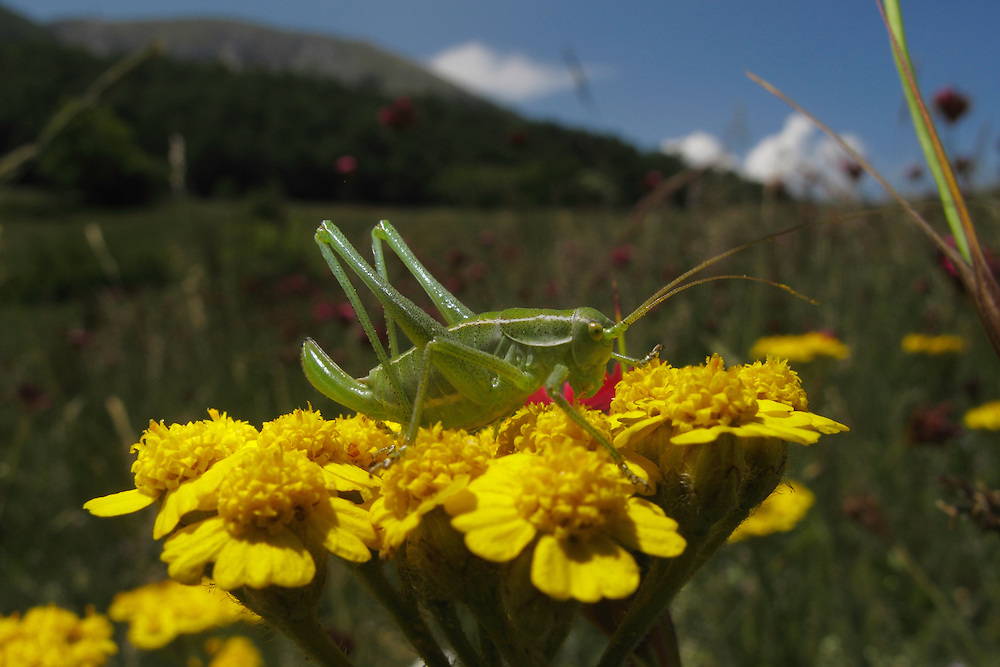 Bush-cricket grasshopper (Tettigoniidae) on Yellow Yarrow, Achillea filipendulina (Gold Plate), Mountain pasture, Mount Baba (1635 m) in Galicica National Park, Macedonia, with Mount Magaro / Marapo (2254m) in background.<br /> Stenje region, Lake Macro Prespa (850m) <br /> Galicica National Park, Macedonia, June 2009<br /> Mission: Macedonia, Lake Macro Prespa /  Lake Ohrid, Transnational Park<br /> David Maitland / Wild Wonders of Europe