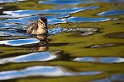 Mallard Duckling, Southland, New Zealand