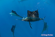 Atlantic sailfish, Istiophorus albicans, with sardine in mouth, taken from a bait ball of Spanish sardines (aka gilt sardine, pilchard, or round sardinella ), Sardinella aurita, under attack by cooperatively hunting sailfish, off Yucatan Peninsula, Mexico ( Caribbean Sea )