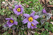 A group of Pasque flowers (Pulsatilla vulgaris - formerly Anemone pulsatilla) blooming in spring in a backyard garden. Pasque flowers are usually some of the first blooms to appear in the spring garden after bulbs such as daffodils and bluebells.