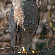 Cooper's Hawk (Accipiter cooperii) at the Washington Park Arboretum, Seattle, Washington.  Photo by William Byrne Drumm.
