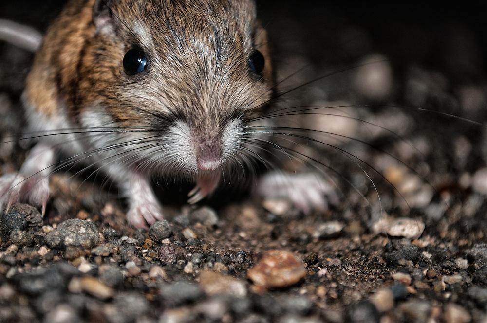 An Ord's Kangaroo Rat (Dipodomys ordii) near Malheur National Wildlife Refuge, Harney County, Oregon.