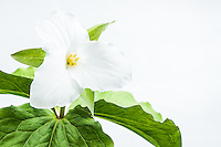 a trillium grandiflorum photographed against a white background in Great Smoky Mountains National Park