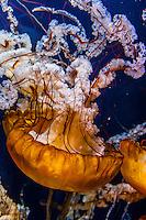 Pacific Sea Nettles, Aquarium of the Bay, Fisherman's Wharf, San Francisco, California USA