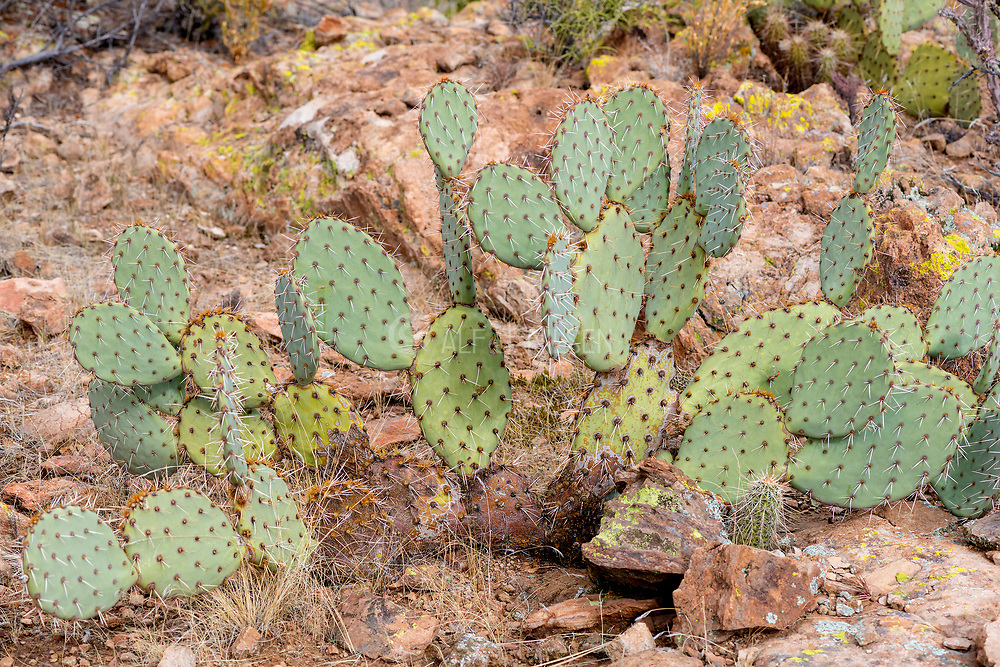 Engelmann prickly pear (Opuntia engelmannii) from the desert at Picketpost Mountain, The Superstitions, Arizona.