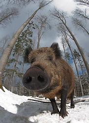 Wild zwijn in sneeuw; Wild boar in snow