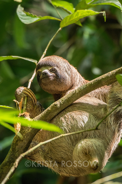 A female three-toed sloth holds onto a branch during a nature walk in Casual off of the Marañon River. Pacaya Samiria National Reserve, Upper Amazon, Peru.