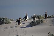 Die Eselspinguine (Pygoscelis papua) beeilen sich, den Bereich des Spülsamues zu verlassen, um nicht einem Seelöwen zum Opfer zu fallen. | The Gentoo Penguins (Pygoscelis papua) quickly run up the first meters of the beach, trying to avoid falling prey to the sea lions.