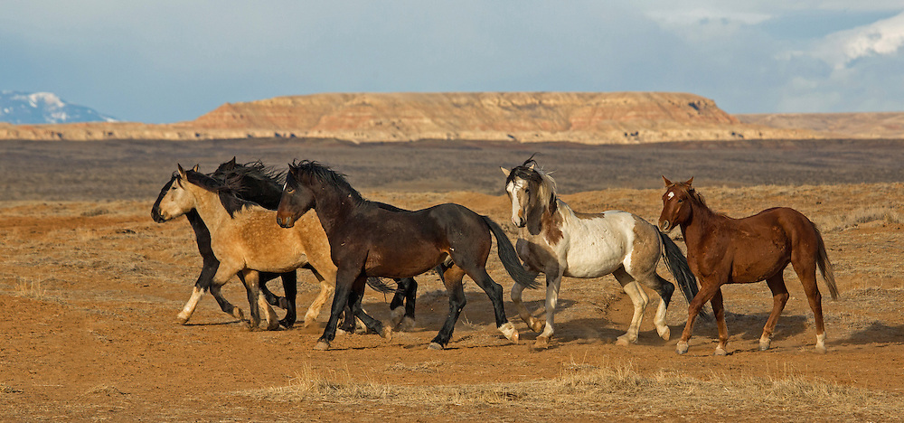"Being social animals, stallions who are not able to win a herd of mares usually band together in ""bachelor"" groups which are composed of stallions of all ages. Such is the case with this small band from the McCullough Peaks Herd Management Area outside Cody, Wyoming."