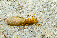 Stonefly (Eccoptura xanthenes)<br /> ALABAMA: Tuscaloosa Co.<br /> Tulip Tree Springs off Echola Rd.; Elrod<br /> 18-May-2016<br /> J.C. Abbott #2814 &amp; K.K. Abbott