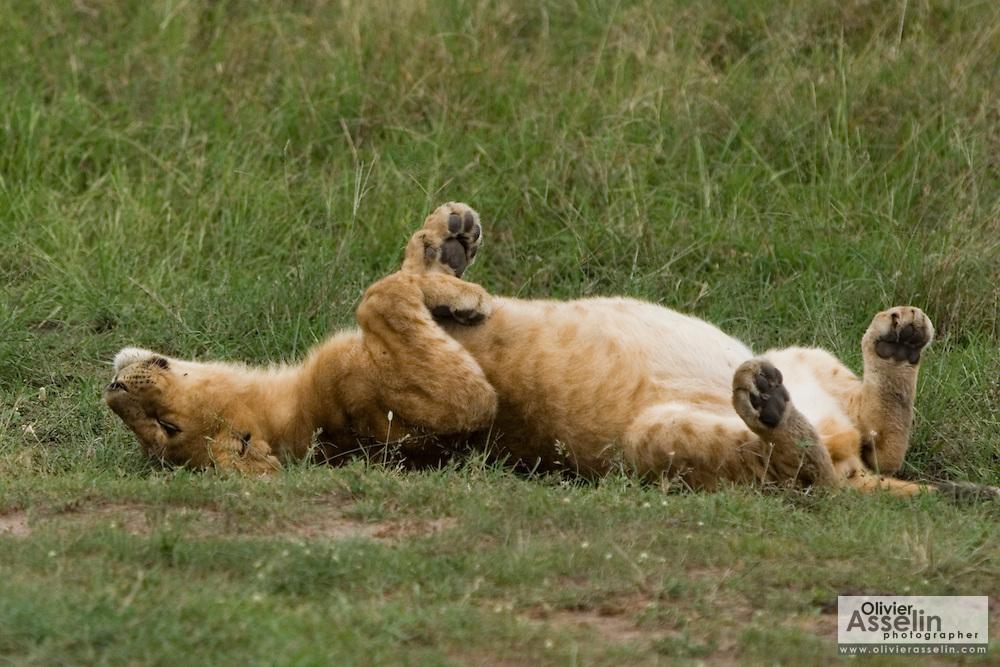 Young lion rolling in grass, Masai Mara, Kenya