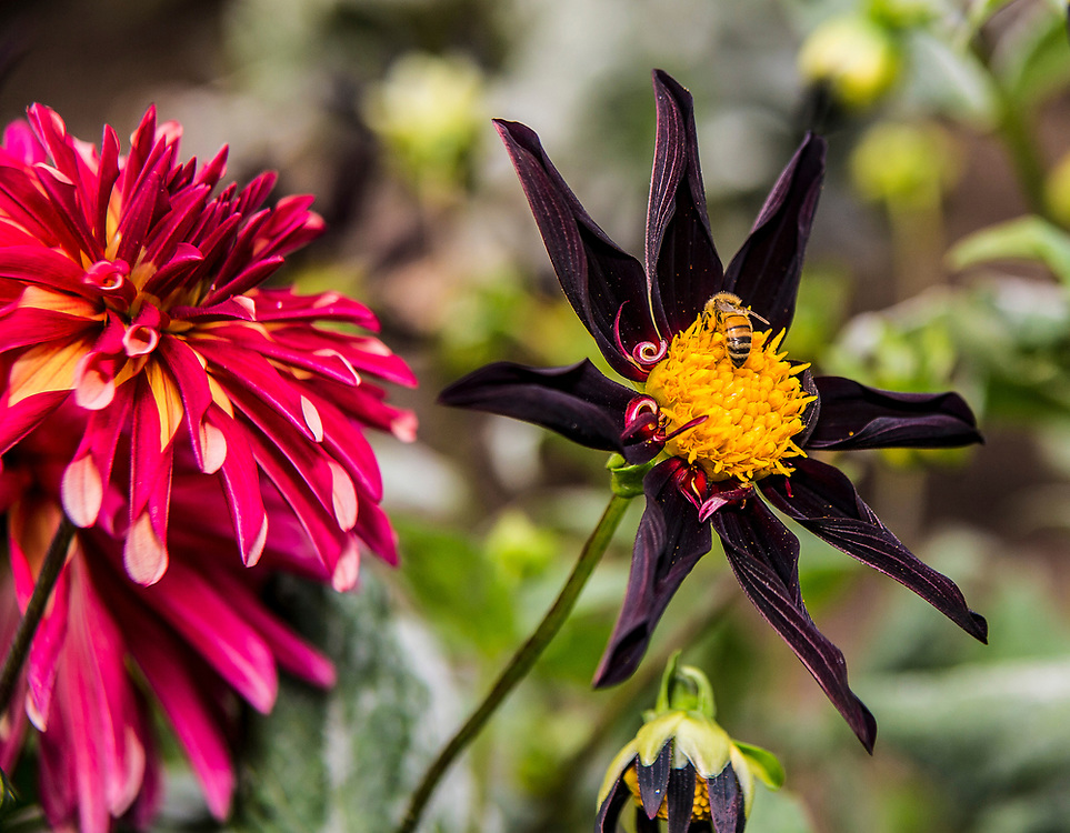 Aug 23 - 2014  San Francisco, ca Golden Gate Park Dahlias Garden, river novelty and verrone obsidian