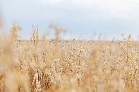 Selective focus of crops growing on farmland against sky