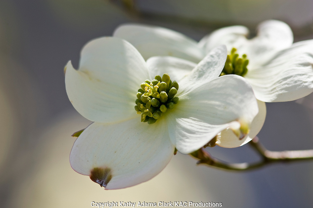 Flowering dogwood, Cornus florida, blooms in spring.  Livingston, Texas