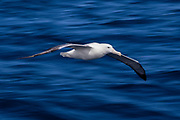 Wandering Albatross in flight, New Zealand