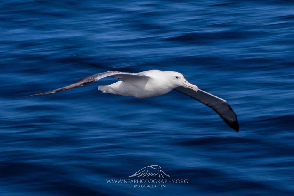 Wandering Albatross in flight, New Zealand