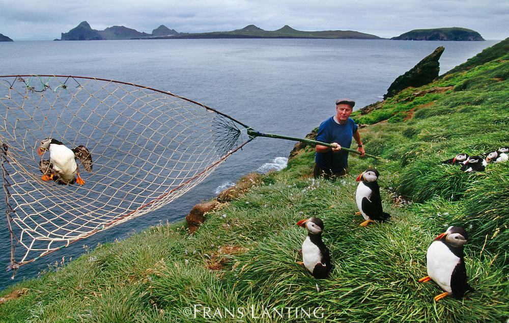 Puffin catcher, Sigurheir Jonasson, snaring atlantic puffins, Fratercula arctica, Vestmannaeyjar, Iceland