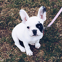 http://Duncan.co/french-bulldog-puppy
