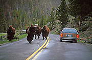Bison (Bison bison) on road, Yellowstone National Park, Wyoming ..Subject photograph(s) are copyright Edward McCain. All rights are reserved except those specifically granted by Edward McCain in writing prior to publication...McCain Photography.211 S 4th Avenue.Tucson, AZ 85701-2103.(520) 623-1998.mobile: (520) 990-0999.fax: (520) 623-1190.http://www.mccainphoto.com.edward@mccainphoto.com