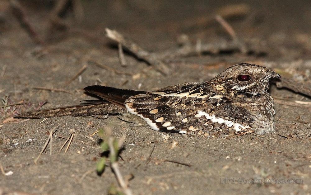Slender-tailed Nightjar, Caprimulgus clarus, Ethiopia, by Markus Lilje