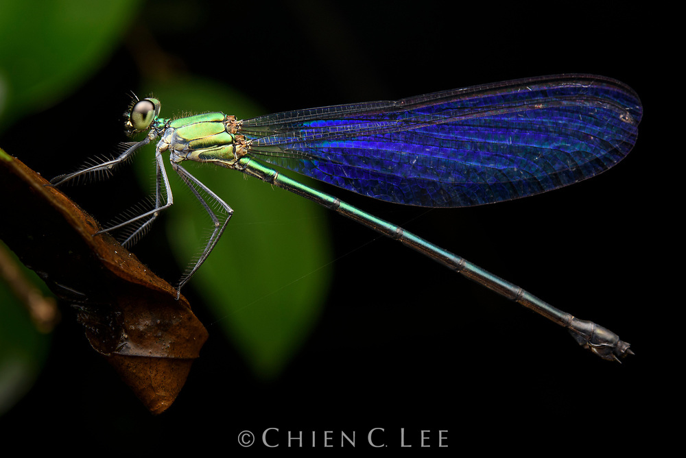Forest damselfly (Vestalis sp.). East Kalimantan, Indonesia.