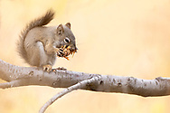 Pine Squirrel eating a Pine Cone