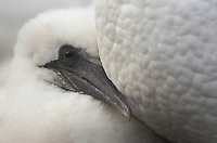 Gannet (Morus bassanus) young chick, Bass Rock, Firth of Forth, Scotland