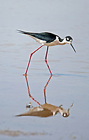 A Black Necked Stilt feeds in the reflection of itself in a local marsh.