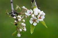 Pear blossoms, Hood River Oregon