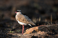 Crowned Lapwing, Pilanesberg National Park, North West, South Africa