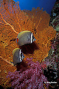 redtail or red-tailed butterflyfish, Chaetodon collare, <br /> Similan Islands, Thailand ( Indian Ocean )