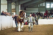 North West and Wales Shire Foal Show 2016