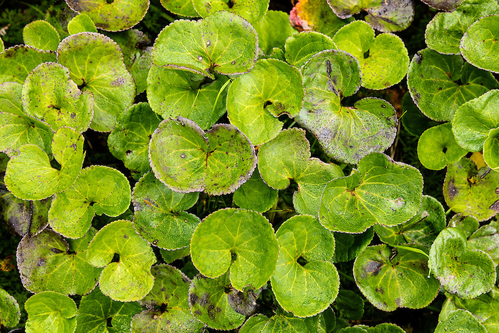 Closeup of Brook Saxifrage (Saxifragapunctata) leaves at Portage Pass in Southcentral Alaska. Summer. Morning.