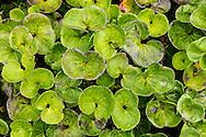 Closeup of Brook Saxifrage (Saxifragapunctata) leaves at Portage Pass in Southcentral Alaska. Summer. Morning.
