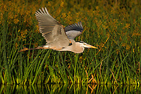 A male great blue heron flys over the shallow waters of the mash as he makes another run away from the nest in search of sticks and other nesting materials