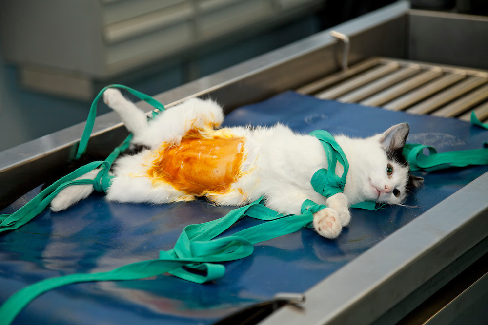 Cat (Felis Catus)  llying on table under anaesthesia,  preparation for sterilization. France