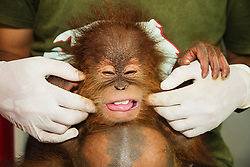 A critically endangered Sumatran orangutan infant (Pongo abelii) that was rescued from illegal pet traders after her mother was killed, is being tickled and plays in the quarantine center with her keeper where she needs to live until she is old enough to be released safely back into the wild, Medan, Sumatra, Indonesia