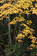 Orange and yellow autumn foliage on a large Bigleaf Maple Tree (Acer macrophyllum). Photographed at Duck Creek Park on Salt Spring Island, British Columbia, Canada.