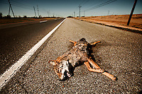 Dead coyote on side on Route 11 roadside, outside Venice, LA.  Copyright 2011 Reid McNally
