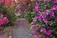 A walkway passes through abundant flowering azalea at Magnolia Gardens in the Lowcountry of South Carolina.